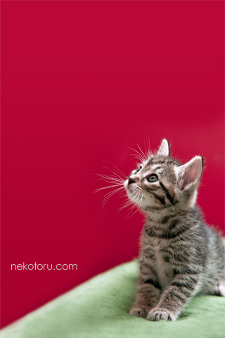 キジトラ 子猫 むぎ 壁紙 クリスマス 画像