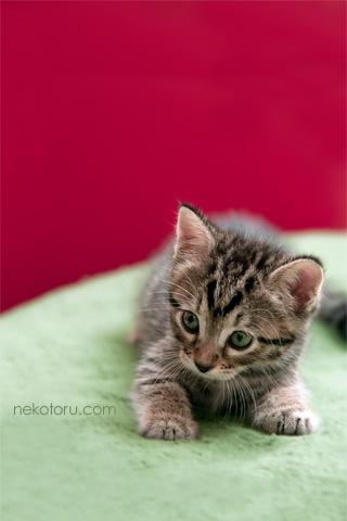 子猫の壁紙 for iPhone むぎークリスマス2 画像