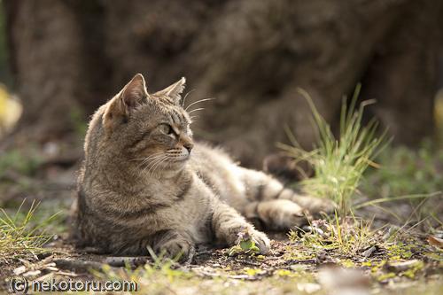 キジトラ猫 野良猫さん
