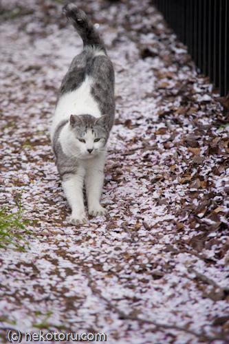 野良猫 サバ白くん