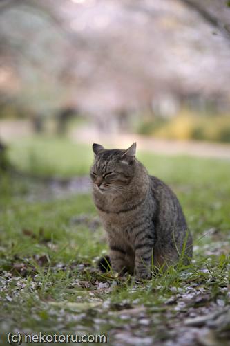 野良猫 キジトラ猫さん