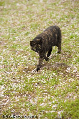 野良猫 サビ猫