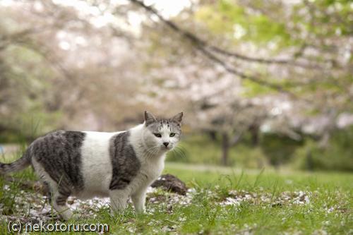 サバ白猫 野良猫