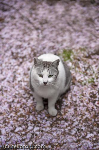サバ白猫 野良猫 桜
